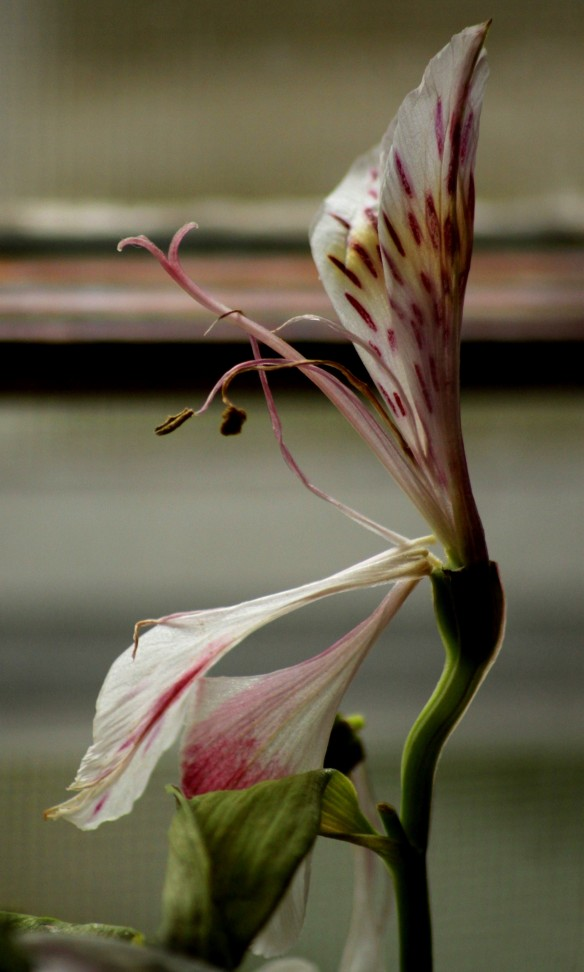 A fading flower in the kitchen windowsill