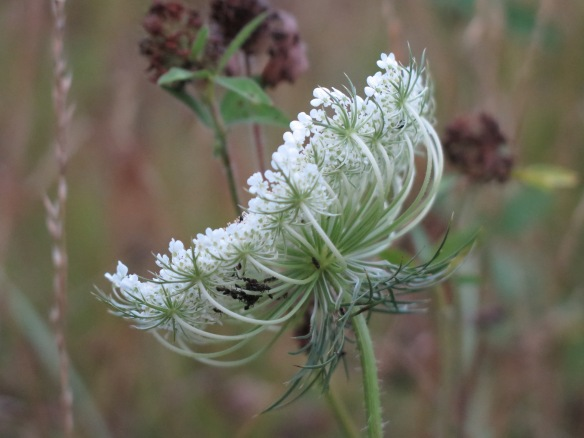 Ants making a home in Queen Anne's Lace, Asheville